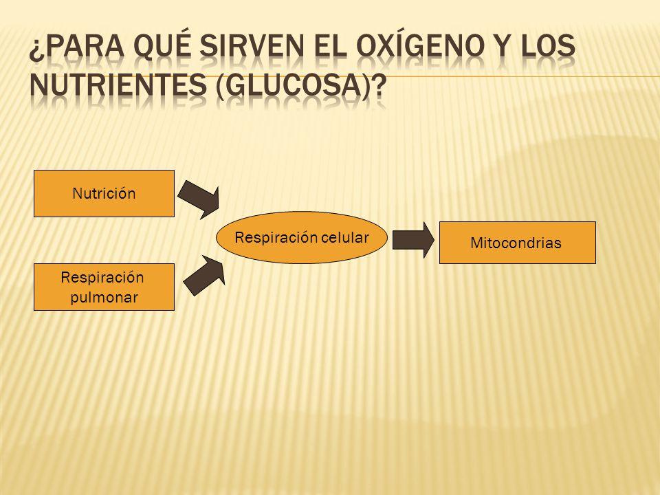 ¿Para qué sirven el oxígeno y los nutrientes (glucosa)