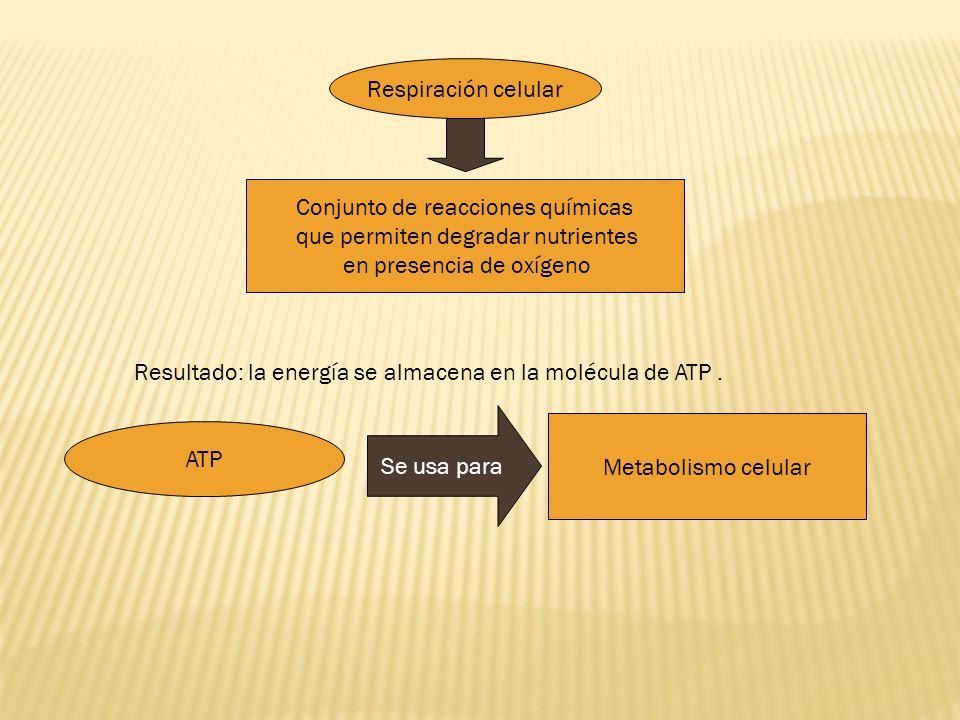 Conjunto de reacciones químicas que permiten degradar nutrientes