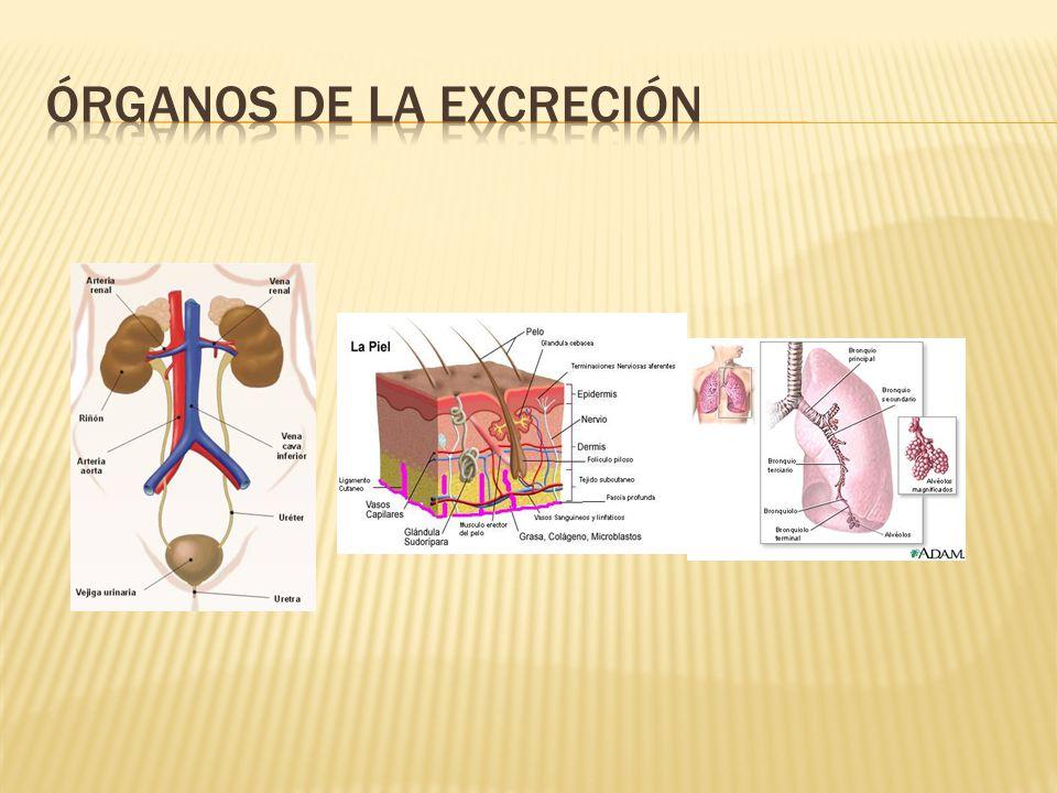 Órganos de la excreción
