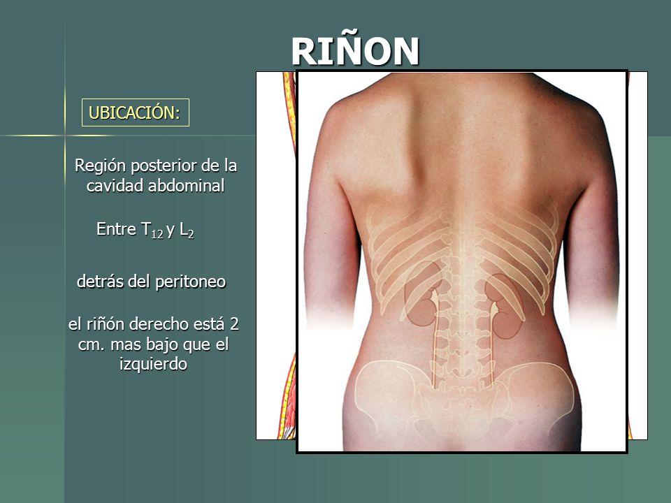 Perfecto Anatomía Fosa Renal Ideas - Anatomía de Las Imágenesdel ...