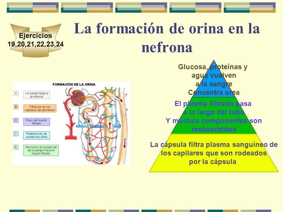 La formación de orina en la nefrona