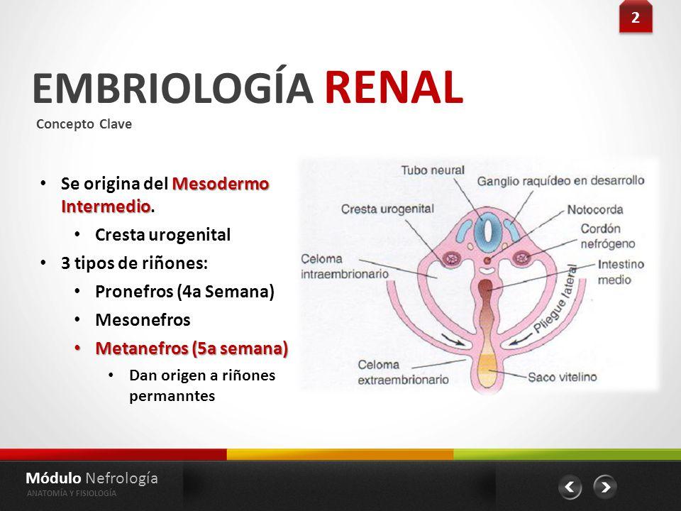 Vistoso Embriología Definición Anatomía Festooning - Imágenes de ...