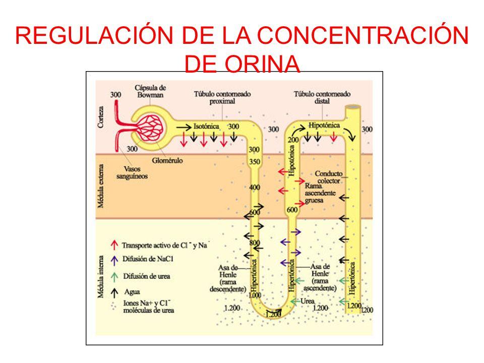 REGULACIÓN DE LA CONCENTRACIÓN DE ORINA