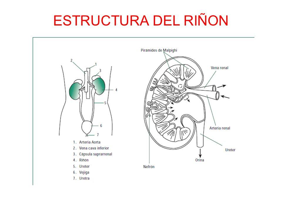 ESTRUCTURA DEL RIÑON