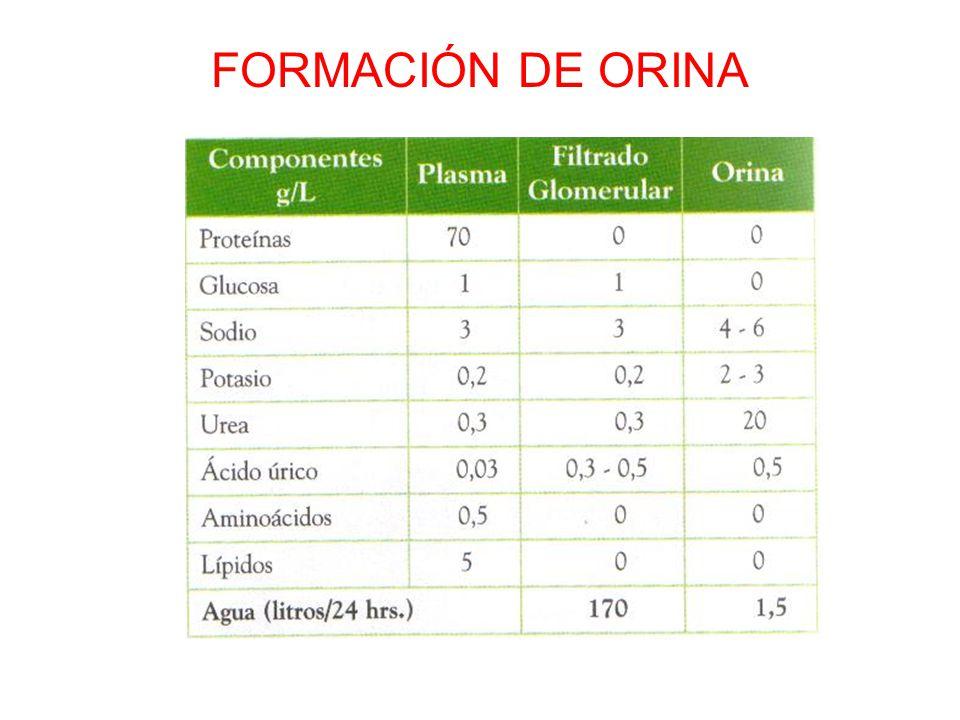 FORMACIÓN DE ORINA