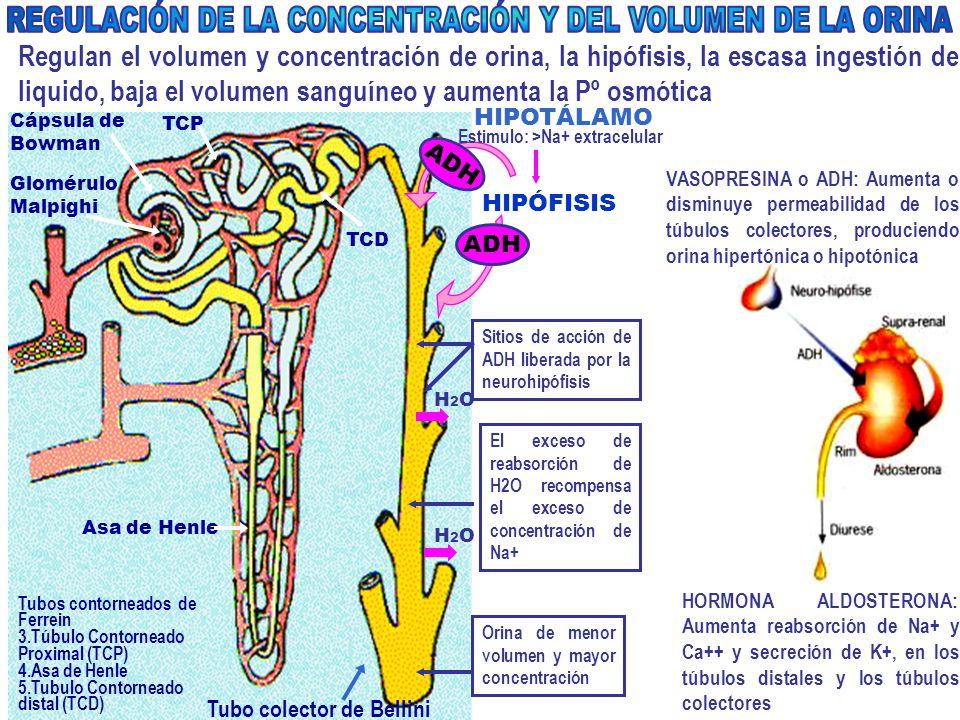 REGULACIÓN DE LA CONCENTRACIÓN Y DEL VOLUMEN DE LA ORINA