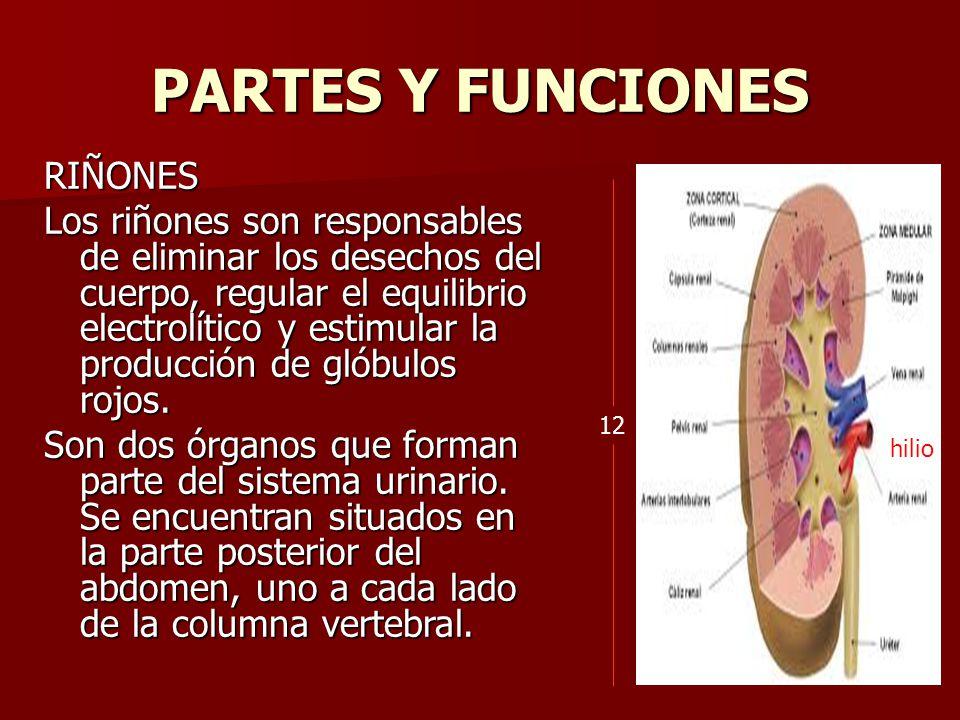 Juan camilo godoy bautista o m m ppt descargar for En k parte del cuerpo estan los rinones