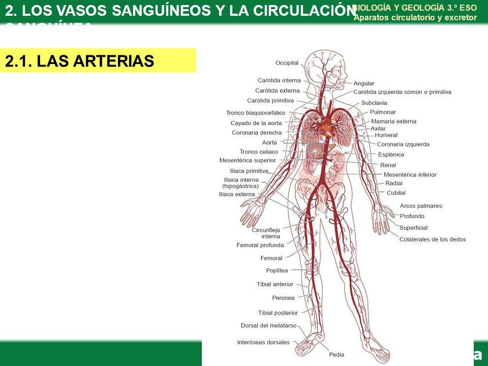Magnífico Anatomía De Los Vasos Sanguíneos Venas Diagrama Colección ...