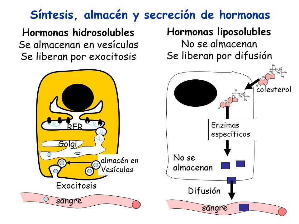 Síntesis, almacén y secreción de hormonas Hormonas hidrosolubles