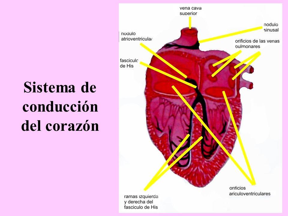 Sistema de conducción del corazón - ppt video online descargar