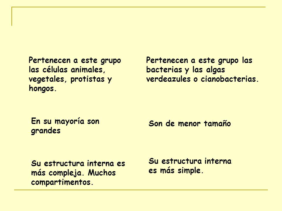 Pertenecen a este grupo las células animales, vegetales, protistas y hongos.