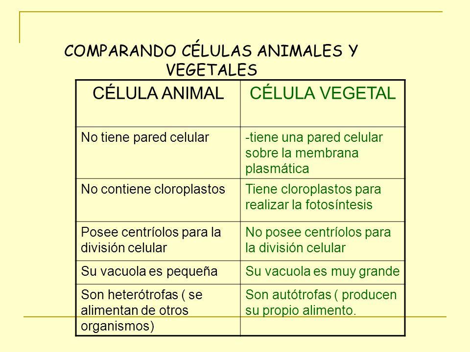COMPARANDO CÉLULAS ANIMALES Y VEGETALES