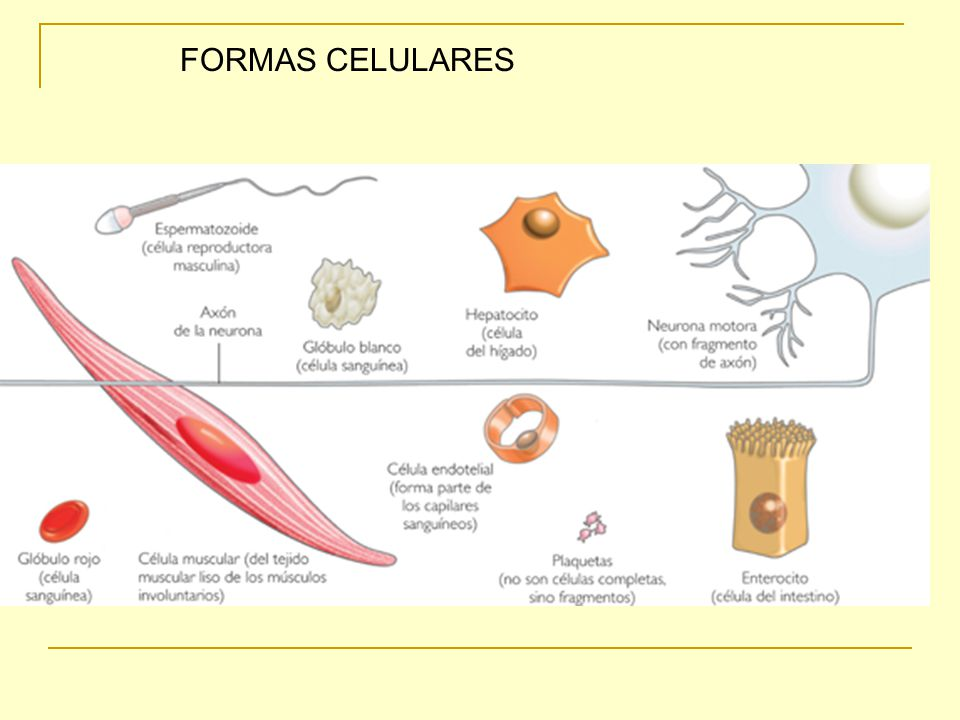 FORMAS CELULARES
