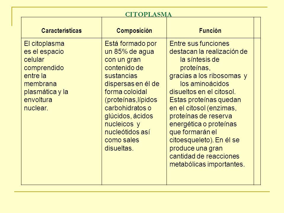 CITOPLASMA Características Composición Función El citoplasma