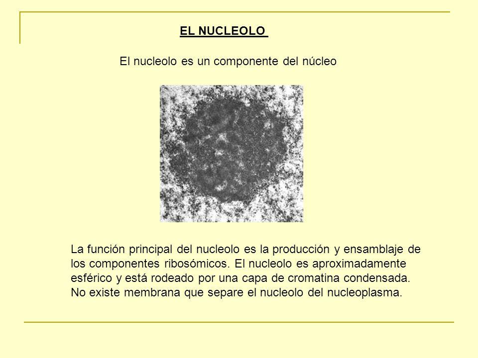 EL NUCLEOLO El nucleolo es un componente del núcleo