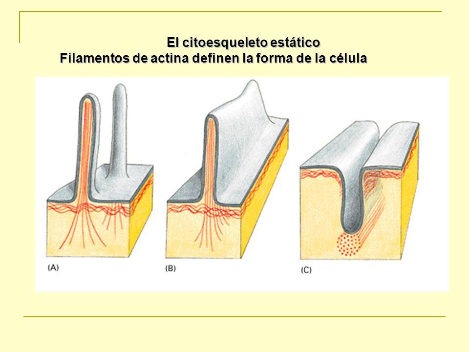 El citoesqueleto estático
