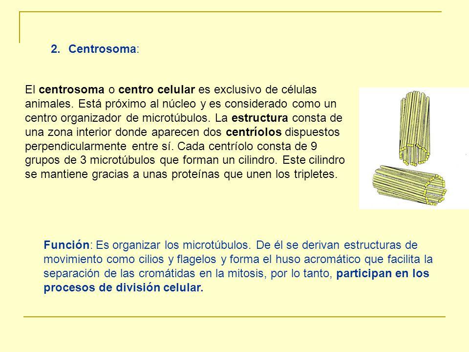 Centrosoma: