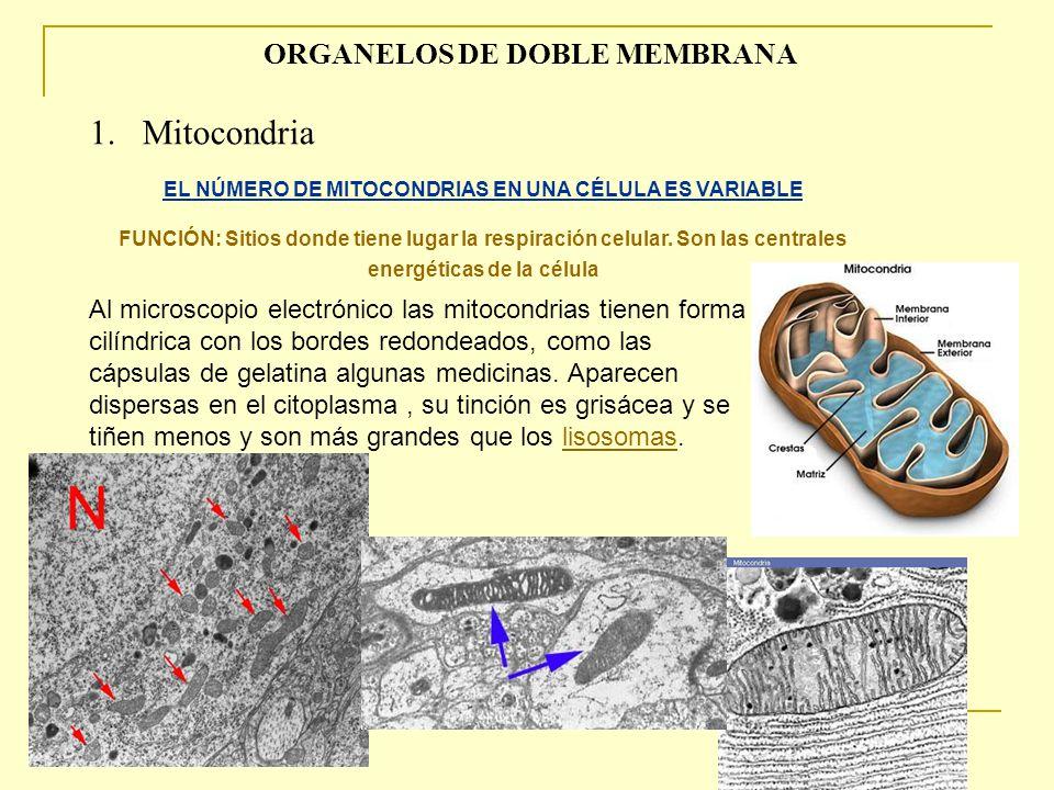1. Mitocondria ORGANELOS DE DOBLE MEMBRANA
