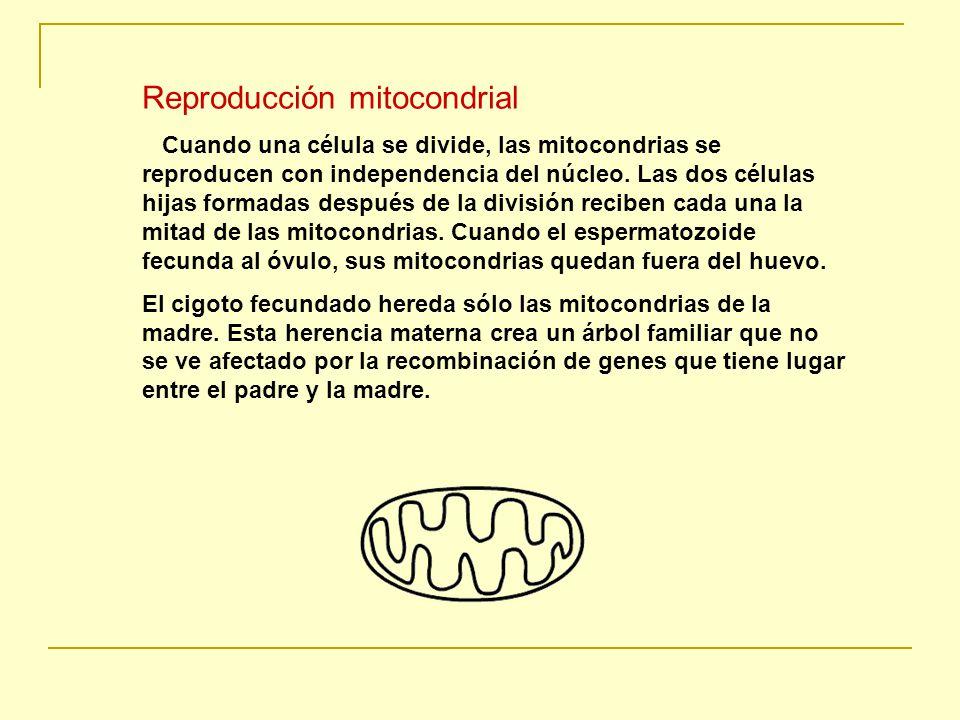 Reproducción mitocondrial