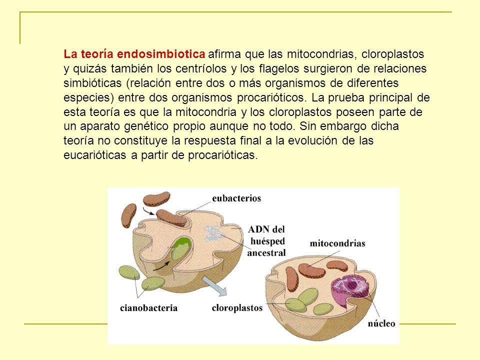 La teoría endosimbiotica afirma que las mitocondrias, cloroplastos y quizás también los centríolos y los flagelos surgieron de relaciones simbióticas (relación entre dos o más organismos de diferentes especies) entre dos organismos procarióticos.