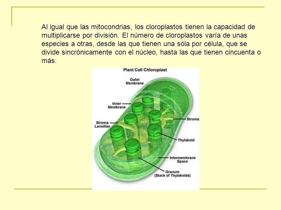 Al igual que las mitocondrias, los cloroplastos tienen la capacidad de multiplicarse por división.