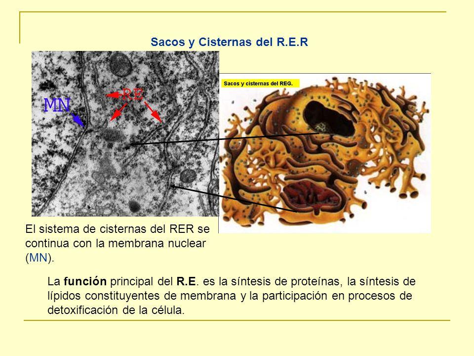 Sacos y Cisternas del R.E.R