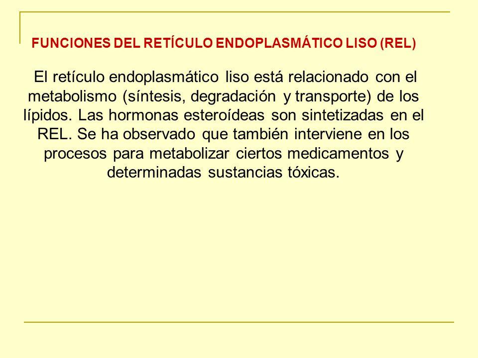FUNCIONES DEL RETÍCULO ENDOPLASMÁTICO LISO (REL)