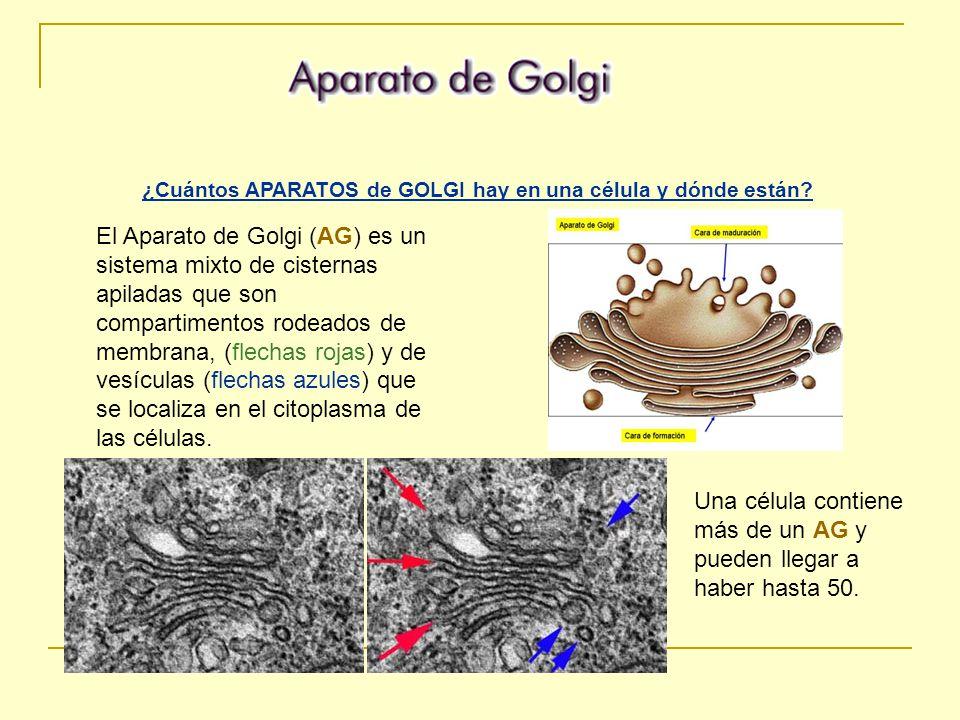 ¿Cuántos APARATOS de GOLGI hay en una célula y dónde están