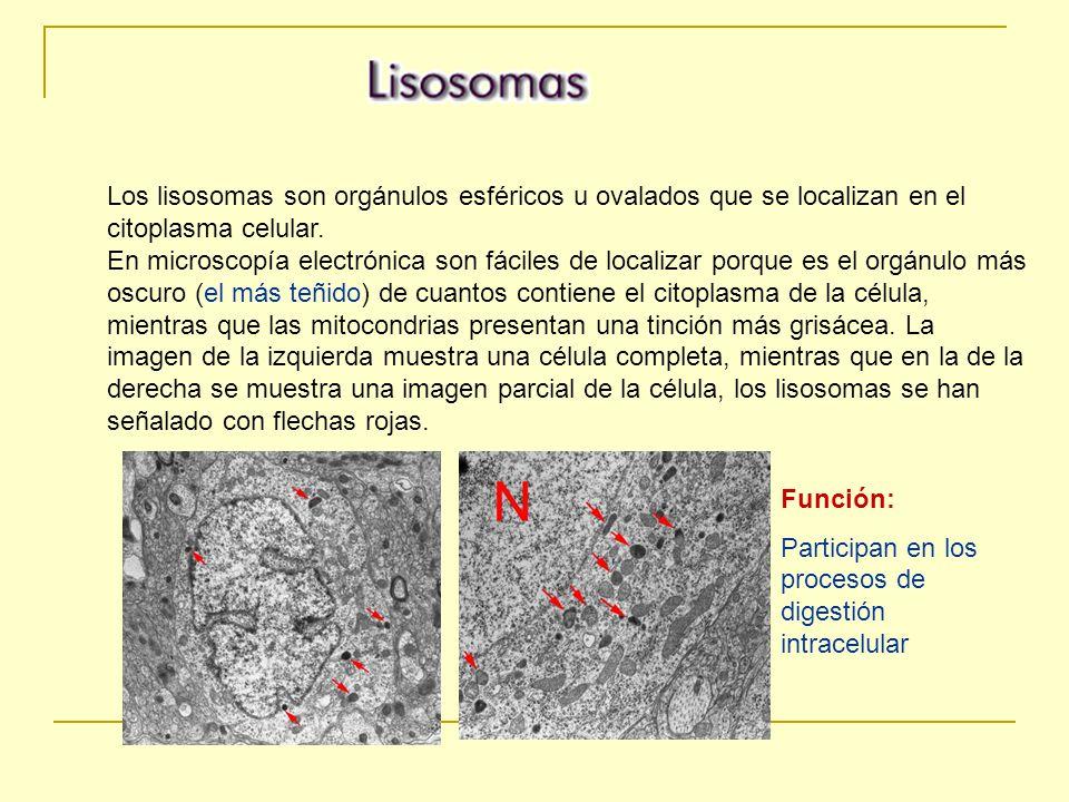 Los lisosomas son orgánulos esféricos u ovalados que se localizan en el citoplasma celular. En microscopía electrónica son fáciles de localizar porque es el orgánulo más oscuro (el más teñido) de cuantos contiene el citoplasma de la célula, mientras que las mitocondrias presentan una tinción más grisácea. La imagen de la izquierda muestra una célula completa, mientras que en la de la derecha se muestra una imagen parcial de la célula, los lisosomas se han señalado con flechas rojas.