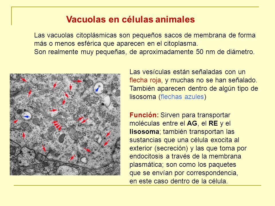 Vacuolas en células animales
