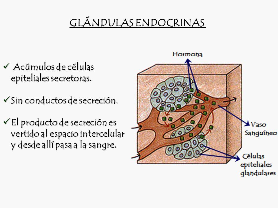 GLÁNDULAS ENDOCRINAS Acúmulos de células epiteliales secretoras.
