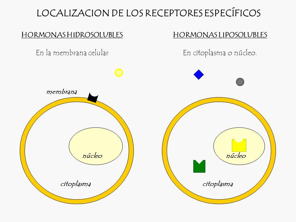 LOCALIZACION DE LOS RECEPTORES ESPECÍFICOS