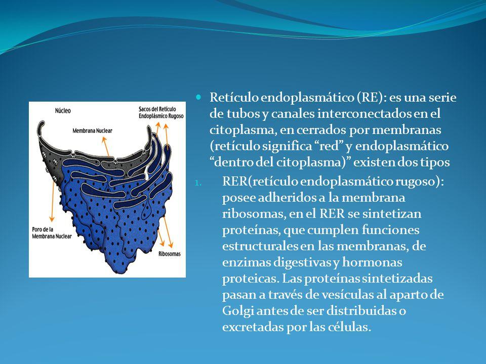 Retículo endoplasmático (RE): es una serie de tubos y canales interconectados en el citoplasma, en cerrados por membranas (retículo significa red y endoplasmático dentro del citoplasma) existen dos tipos