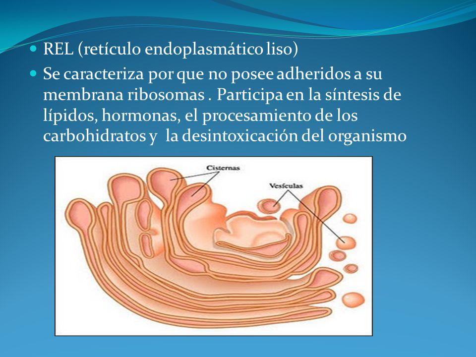 REL (retículo endoplasmático liso)