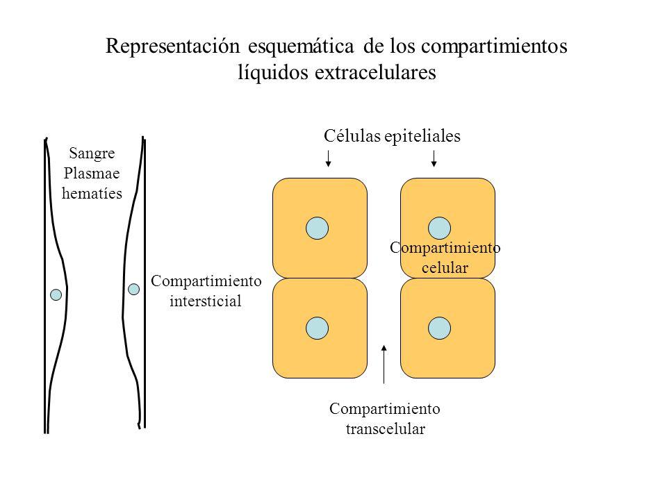 Representación esquemática de los compartimientos líquidos extracelulares
