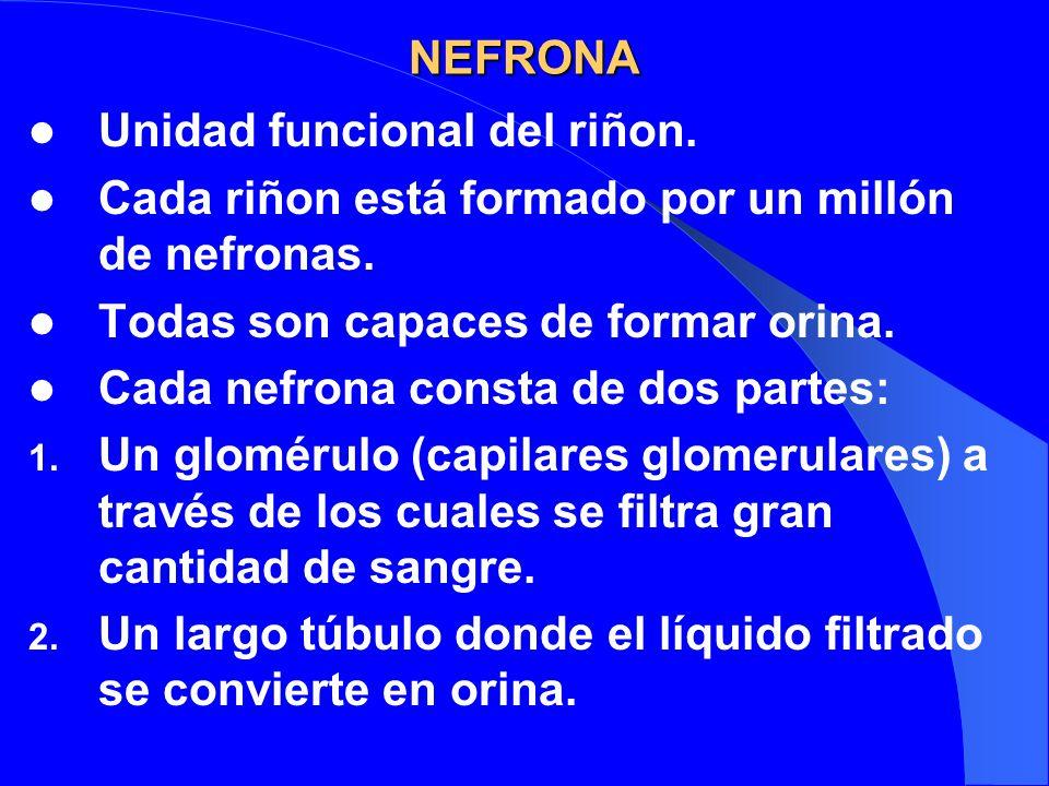 NEFRONA Unidad funcional del riñon. Cada riñon está formado por un millón de nefronas. Todas son capaces de formar orina.