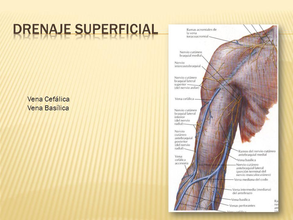 Excelente Vena Basílica Motivo - Imágenes de Anatomía Humana ...