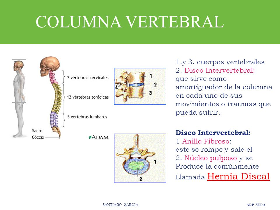 COLUMNA VERTEBRAL 1.y 3. cuerpos vertebrales 2. Disco Intervertebral: