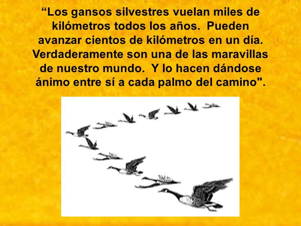 Los gansos silvestres vuelan miles de kilómetros todos los años