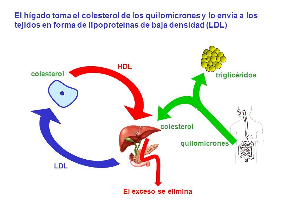 El hígado toma el colesterol de los quilomicrones y lo envía a los tejidos en forma de lipoproteínas de baja densidad (LDL)