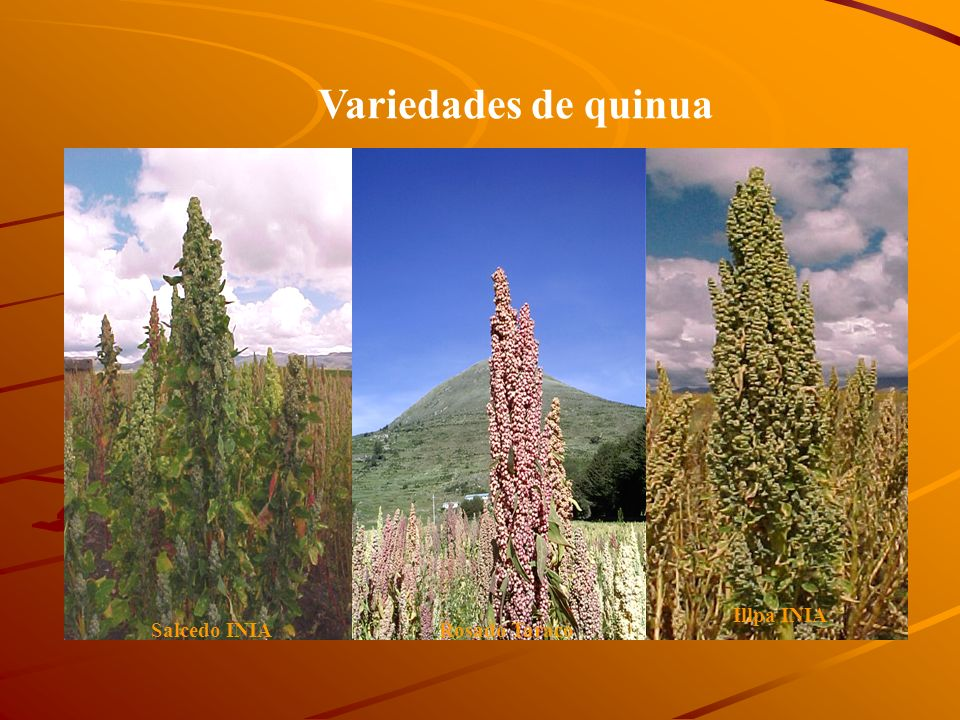 Variedades de quinua Illpa INIA Salcedo INIA Rosado Taraco