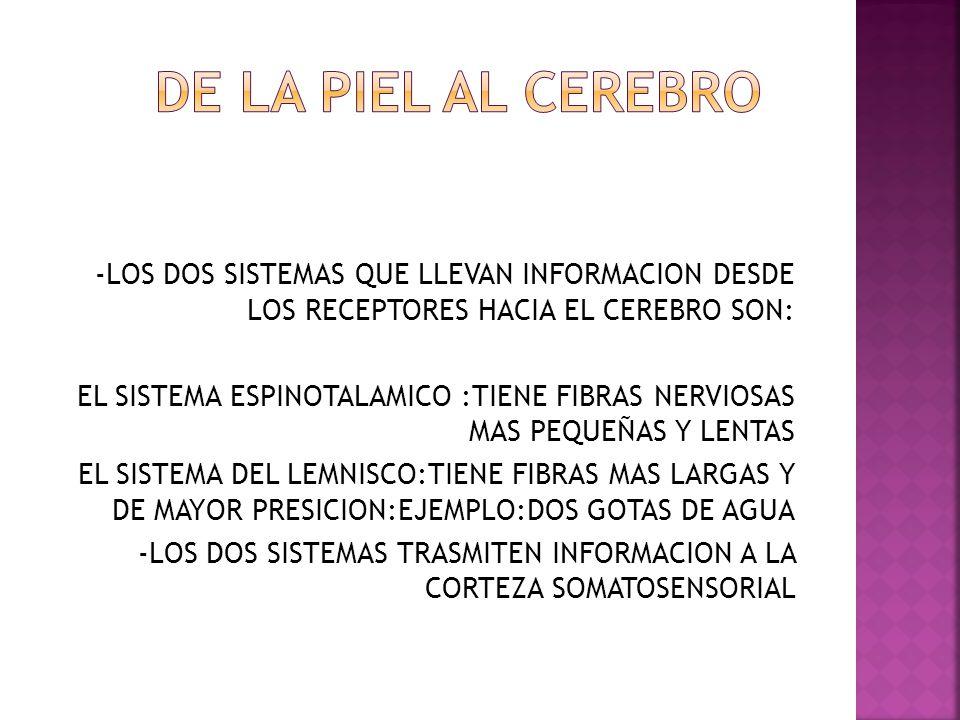 DE LA PIEL AL CEREBRO -LOS DOS SISTEMAS QUE LLEVAN INFORMACION DESDE LOS RECEPTORES HACIA EL CEREBRO SON: