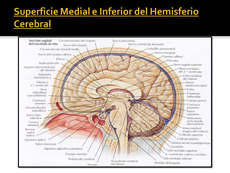 Lujo Ubicación Pituitaria Anterior Inspiración - Anatomía de Las ...