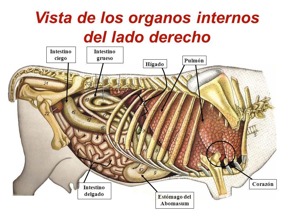 Excelente Anatomía De Pulmón De Vaca Ornamento - Imágenes de ...