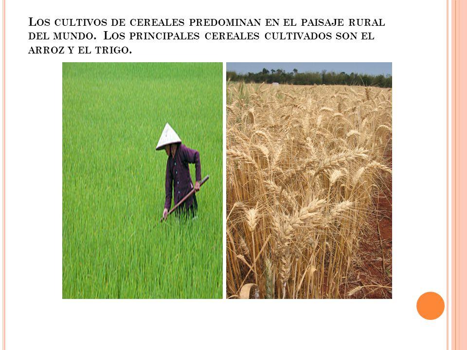 Los cultivos de cereales predominan en el paisaje rural del mundo
