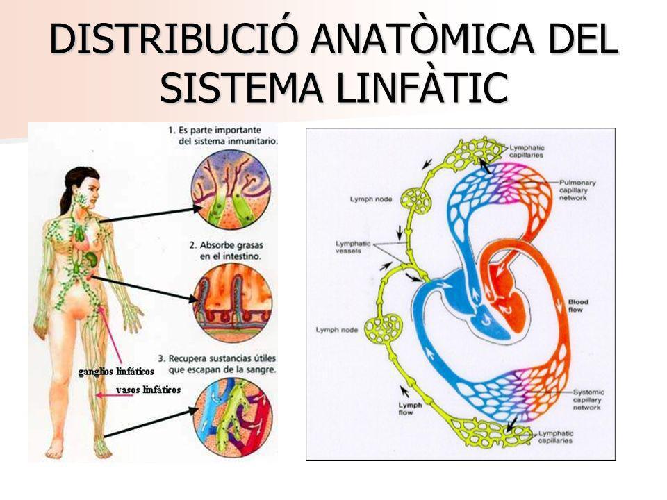 DISTRIBUCIÓ ANATÒMICA DEL SISTEMA LINFÀTIC