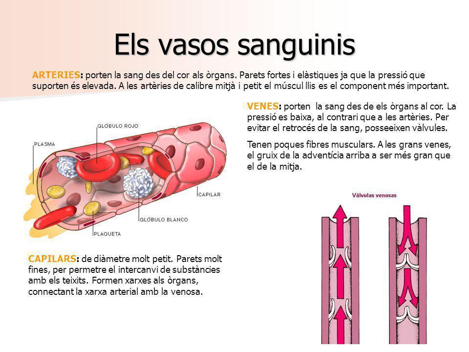 Els vasos sanguinis