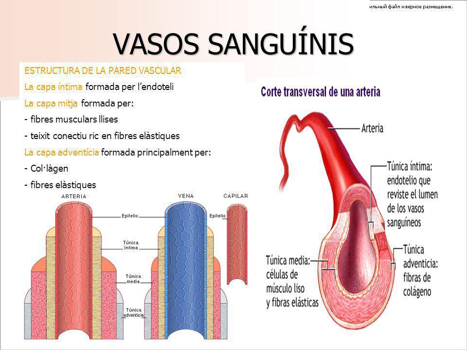 VASOS SANGUÍNIS ESTRUCTURA DE LA PARED VASCULAR