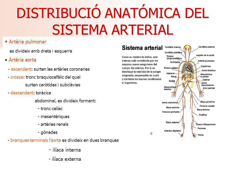 DISTRIBUCIÓ ANATÓMICA DEL SISTEMA ARTERIAL