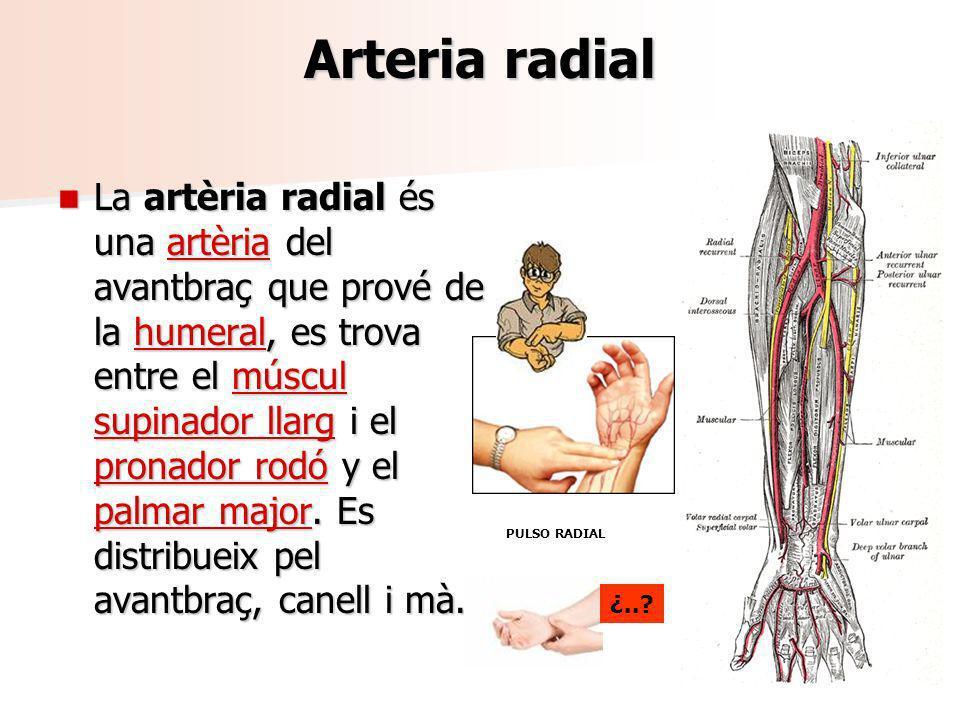 Arteria radial